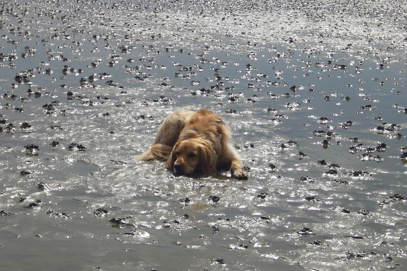 Hund kühlt seinen Körper auf dem nassen Wattboden