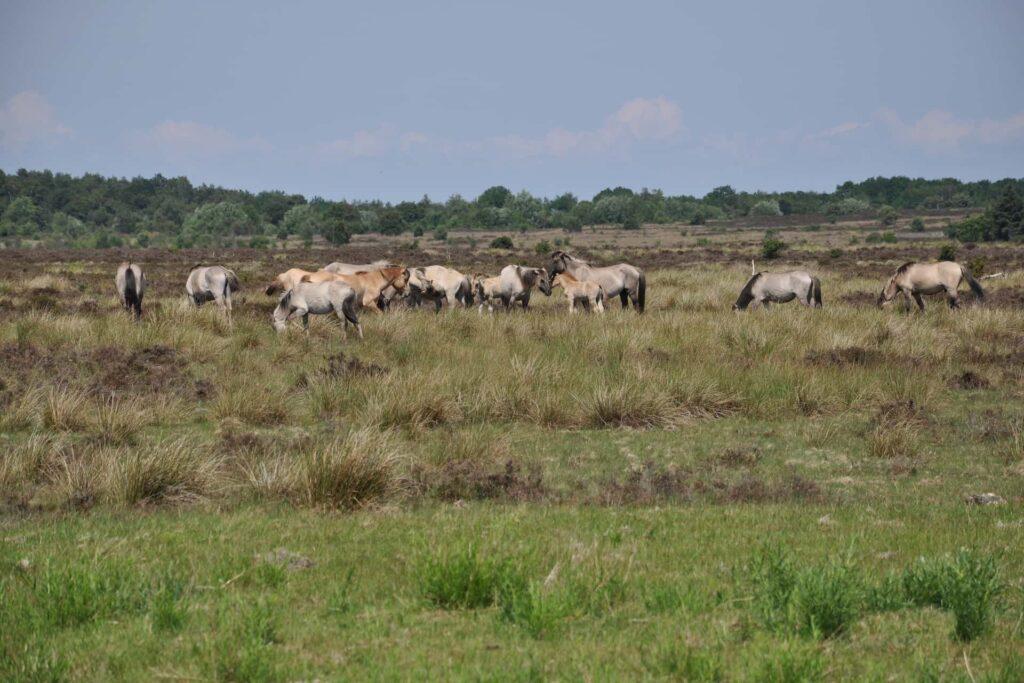 Wilde Pferde stehen auf der Küstenweide in Cuxhaven